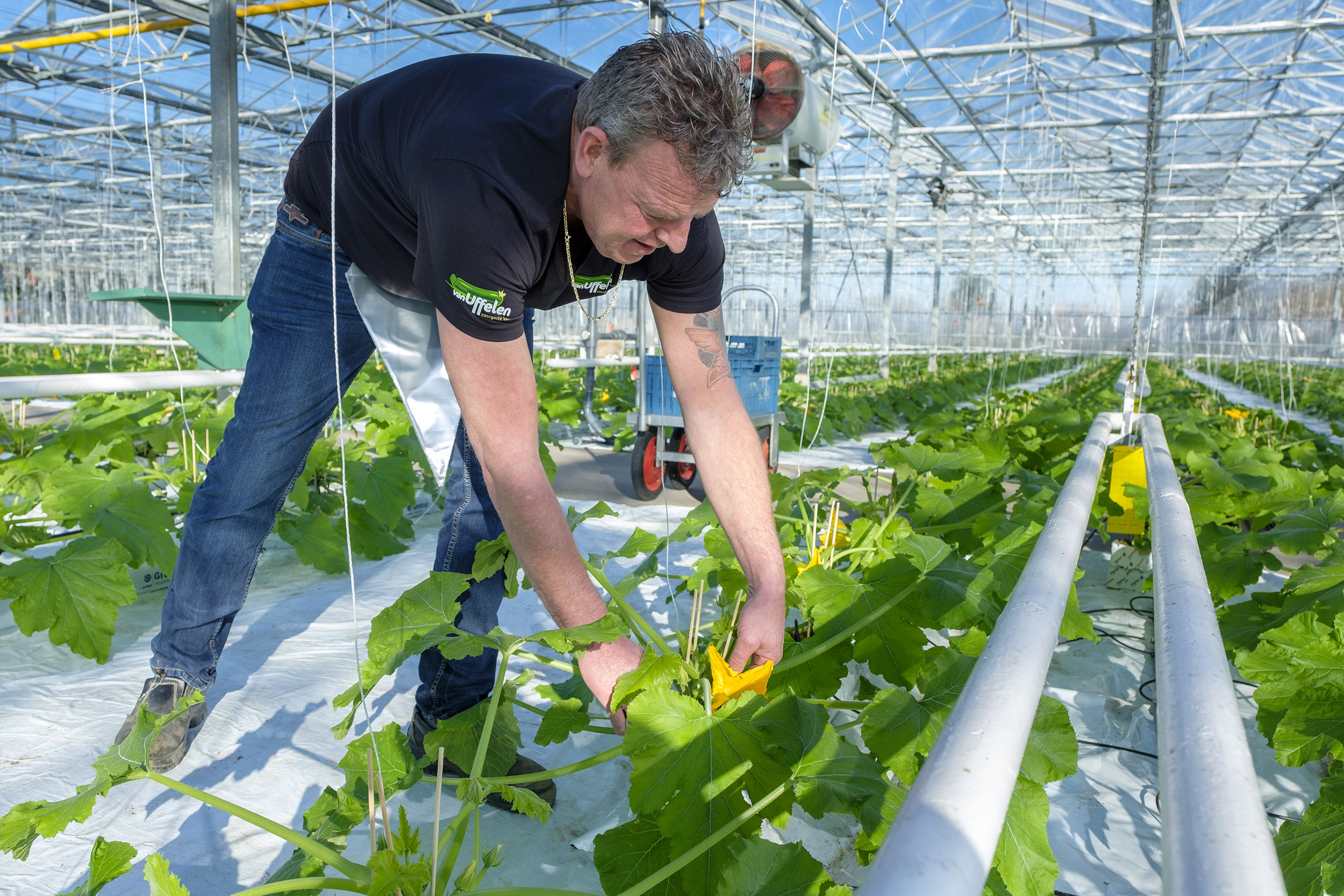 agrarisch courgette courgettes courgettekweker courgetteplant courgetteteelt kas broeikas landbouw